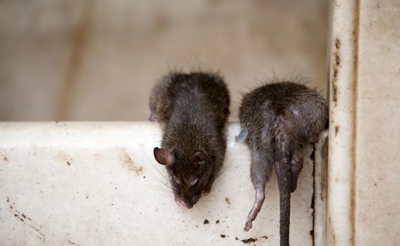Slik holder du rotter og mus unna hus og hage